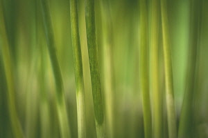 Grass, Miscanthus Sinensis, Poaceae, Close-up detail of plant growing outdoor.