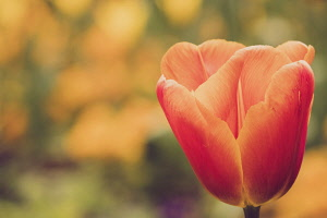 Tulip, Tulipa, Orange coloured flowers growing outdoor showing petals.