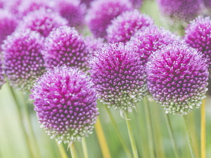 Allium, Roundheaded Leak, Allium Sphaerocephalon, Close-up of purple coloured flowerheads growing outdoor.