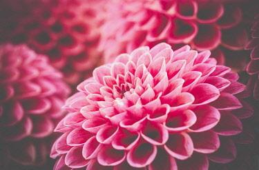 Dahlia , Close-up detail of pink coloured flower showing petal detail pattern.