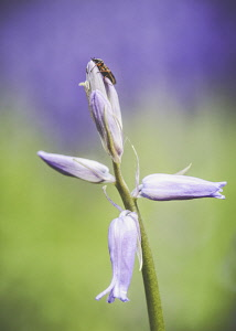Bluebell, Hyacinthoides Non-Scripta, Close-up of mauve coloured flower growing outdoor.
