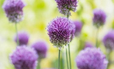 Allium, Roundheaded Leak, Allium Sphaerocephalon, Close-up of purple coloured flowerheads growing outdoor.