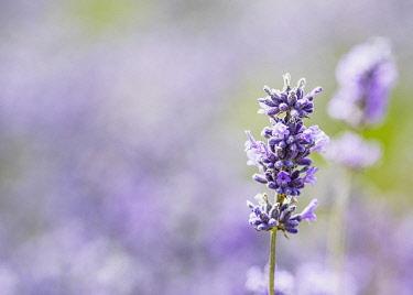 Lavender, Lavandula, Close-up detail of mauve coloured flower growing outdoor.