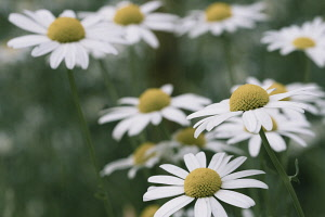 Daisy, Daisy Bellis, Side view of flowers with white petals and yellow stamen growing outdoor.