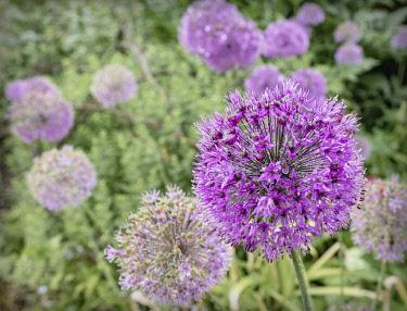 Allium, Allium Hollandicum, A border full of mauve coloured flowers after a shower of rain.