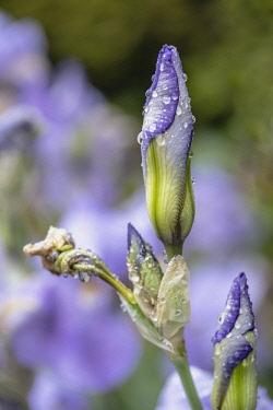 Iris, Mauve coloured flower unfurling blue iris after a shower of rain.