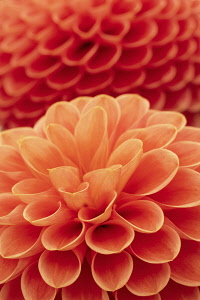 Dahlia, Close-up of orange coloured flower showing pattern of petals.