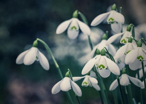 Snowdrop, Galanthus, Small white coloured flowers growing outdoor.