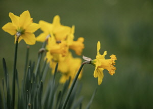 Daffodil, Narcissus, Early spring yellow coloured flowers growing outdoor.