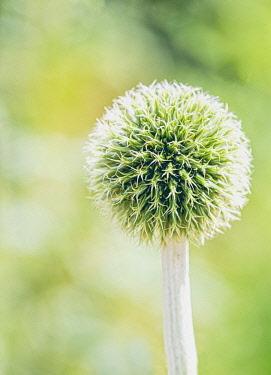 Allium, Allium Stipitatum, Globe shaped flowerhead growing outdoor.