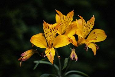 Alstromeria, Alstromeria Aurea, Yellow coloured  flowers growing outdoor showing petals and stamen.