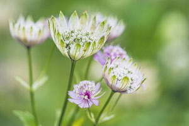 Astrantia 'Great Masterwort', Astrantia Major, Pale coloured flowers growing outdoor.