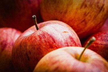 Apple, Cox Apple, Malus Domestica, Cox eating apples in an organic farm shop in Devon.