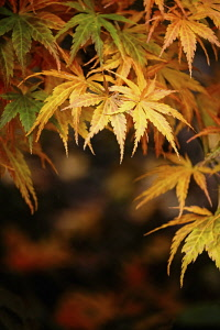 Acer, Maple Leaves, Autumnal acer leaves on the trees at Batsford Arboretum, Worcestershire.
