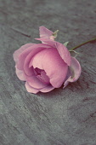 Rose, Rosa 'La Reine Victoria'.