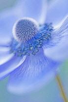 Anemone, Anemone coronaria.