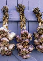 Garlic, Allium sativum.