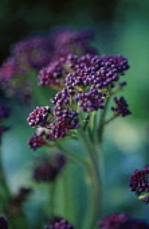 Broccoli, Purple sprouting broccoli, Brassica oleracea botrytis italica.