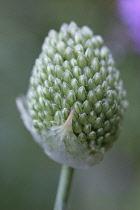 Allium, Allium sphaerocephalon.