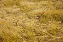 Barley, Hordeum.
