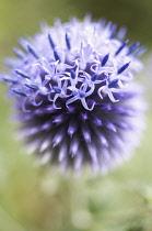 Globe Thistle, Echinops 'Veitch's blue'.