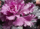 Cabbage, Ornamental cabbage, Brassica oleracea.
