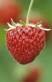 Strawberry, Fragaria x ananassa 'Pandora'.