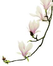 Magnolia, Magnolia soulangeana.