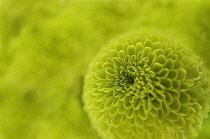 Chrysanthemum, Chrysanthemum 'kermit'.