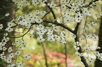 Dogwood, Flowering dogwood, Cornus 'Florida'.