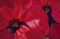 Poinsettia, Euphorbia pulcherrima.