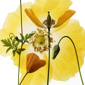 Poppy, Welsh poppy, Meconopsis cambrica.