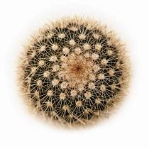 Cactus, Pincushion cactus, Mammillaria spinisissima.