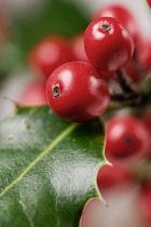 Holly, Ilex aquifolium.
