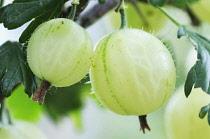 Gooseberry, Ribes uva-crispa.