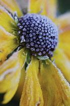 Helen's Flower, Sneezeweed, Helenium.