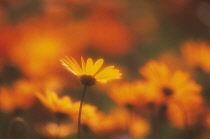 Daisy, Argyranthemum.
