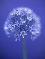 Allium, Allium caeruleum.
