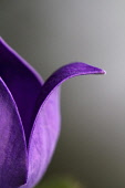 Close cropped, part view of outward curved petal of Balloon flower.
