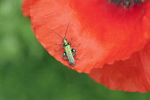 Part view of Poppy, Papaver rhoeas with Thick-legged Flower Beetle, Oedemera nobilis on petal.