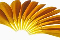 Gerbera jamesonii ?Optima?, Individual orange petals delicately placed to form a half circle.