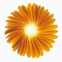 Gerbera jamesonii ?Optima?, Fan of orange petals delicately placed to form a representative shape of a Gerbera flower.