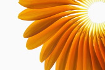 Gerbera jamesonii ?Optima?, Fan of orange petals delicately placed to form a representative shape of a Gerbera flower. Close crop,