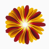 Gerbera jamesonii ?Optima? and Gerbera Jamesonii ?Ruby Red?. Red and orange petals from two Gerbera Jamesonii combined and arranged in a representational form of a Gerbera.