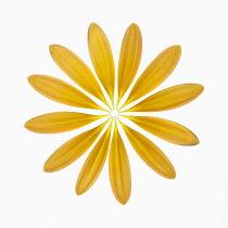 Gerbera jamesonii ?Optima?. Individual orange petals delicately placed to create a full circle.
