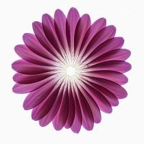 Gerbera jamesonii ?Serena?, Individual pink petals placed into a construct representation of a Gerbera flower.