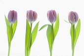 Four different purple tulips arranged in a row on a clean white background.