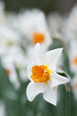 Narcissus with white petals and orange centre. Single flower in foreground with others massed behind, shallow depth of field.