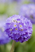 Dense, spherical head of purple-pink flowers of Primula denticulata.