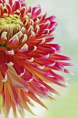 Close part view of cactus type Dahlia cultivar with petals of dark pinkish red colour fading to pale tips.